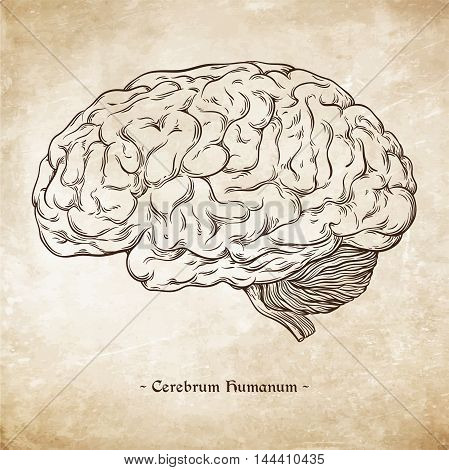 Hand Drawn Line Art Anatomically Correct Human Brain. Da Vinci Sketches Style Over Grunge Aged Paper