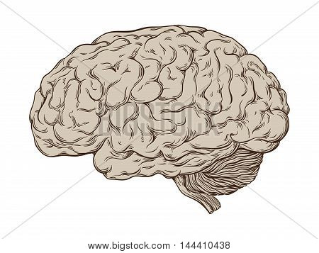 Hand Drawn Line Art Anatomically Correct Human Brain. Isolated Over White Background Vector