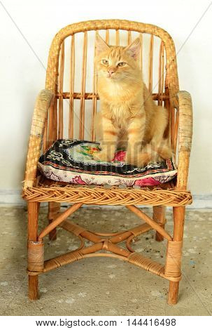 Pretty red kitten sitting on the chair.