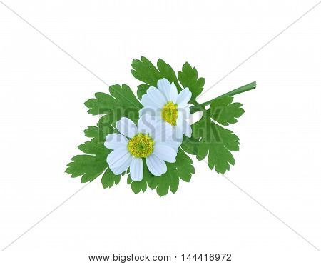 Tanacetum parthenium, common name, Feverfew, isolated on a white background.