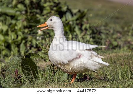 Pekin duck sitting on the grass by a river, quacking