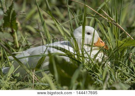 Pekin Duck, Sitting By The Riverside Close Up