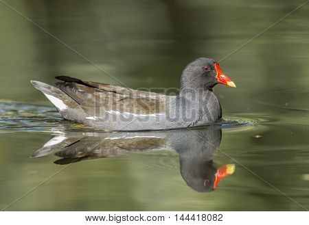 Moorhen, Gallinula Chloropus, Swimming On A Pond, Close Up