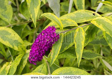 Variegated buddleia plant with a purple flower