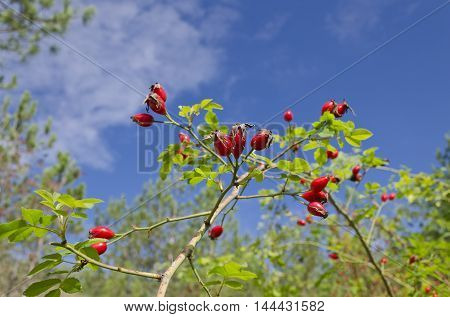 Briar wild rose hip in the wild