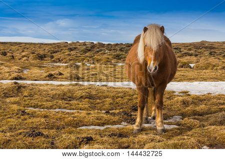 Farming horse over dry grass with clear blue sky background, Iceland