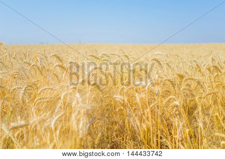 Ripe rye in a field on a summer day photographed with the aperture open.