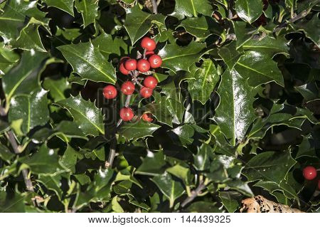 Ripe red berries of an holly and green petals