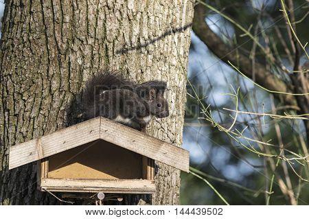A Brown squirrel sitting on a birdfeeder