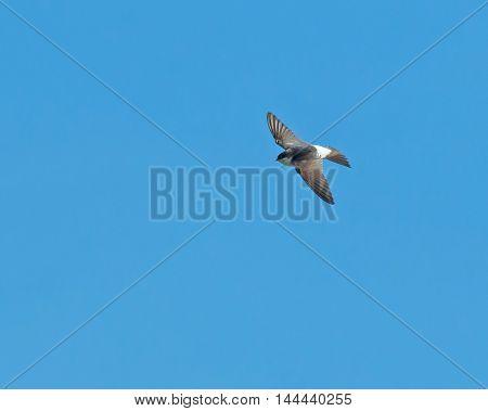 Small bird House Martin in flight during autumn migration