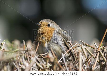 A Robin redbreast sitting on a hedge