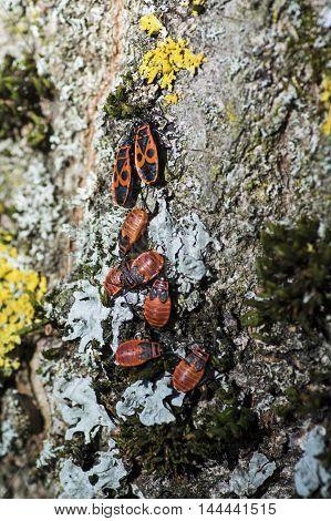A heap of firebugs on a tree bark