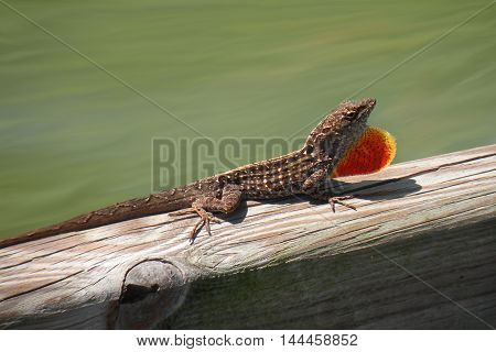 Brown Anole in a medium brown color with his throat fan extended.