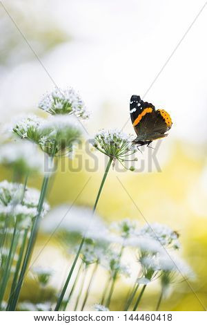 a butterfly is coming by the chive flowers