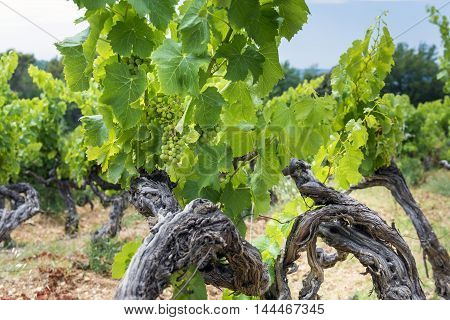 Vineyard green bushes with growing white grape France