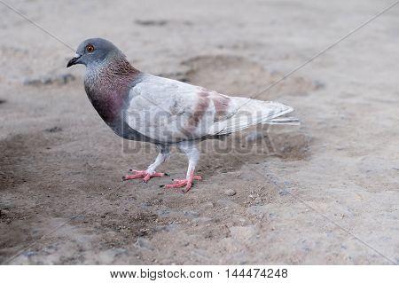 photo of dove bird standing on ground