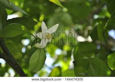 flor de laranjeira, orange tree flower, flor perfumada, saúde