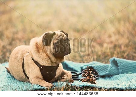Pug dog in a park