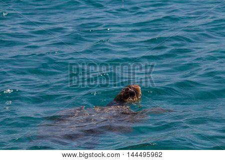 Caretta Caretta Turtle Swim In The Bay Laganas, Zakynthos, Greece