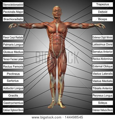 Concept or conceptual 3D illustration of a male or human anatomy, a man with muscles and text on gray gradient background