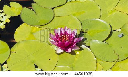 Water-lilies grow in a pond and blossom to people