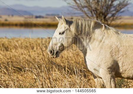 portrait of a white stallion standing in dry grass in the early morning sunlight