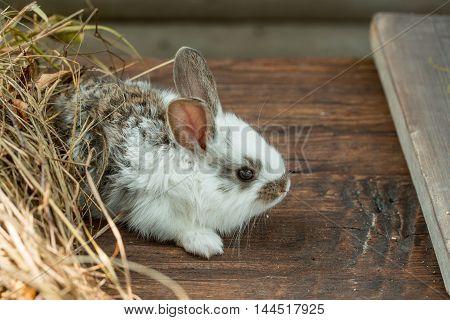 Cute Rabbit Domestic Pet