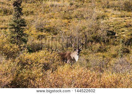 a nice barren ground caribou bull in velvet in alaska
