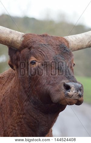 An Ankole-Watsui breed of Cattle - Bos taurus