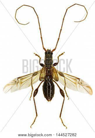 Longhorn Beetle Molorchus on white Background  -  Molorchus minor  (Linnaeus, 1758)