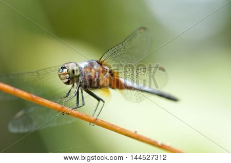 Close up of a blue dragonfly with wings open