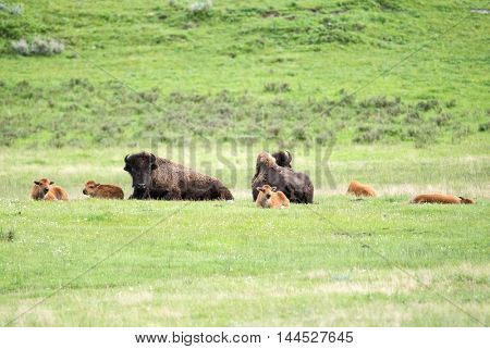 Two adult parent buffaloes (bison bison) and their calfs around them. Yellowstone National Park, Wyoming, USA