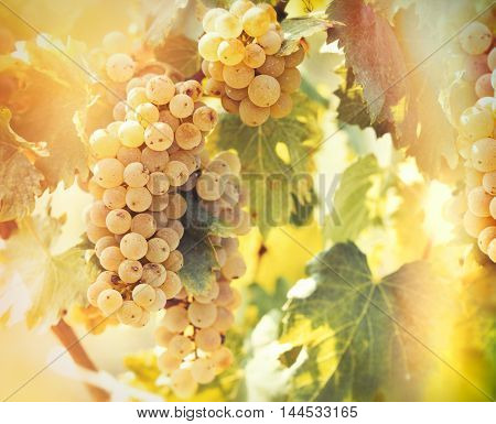 Wine grape - golden grape Riesling lit by sunlight