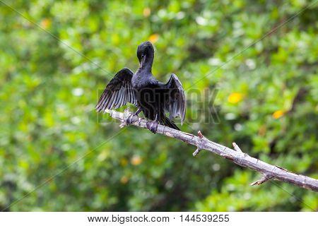 Black Cormorant lets its wings dry in the sun at Madu Ganga river - Sri Lanka