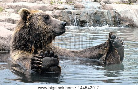 A grizzly bear floating in the water