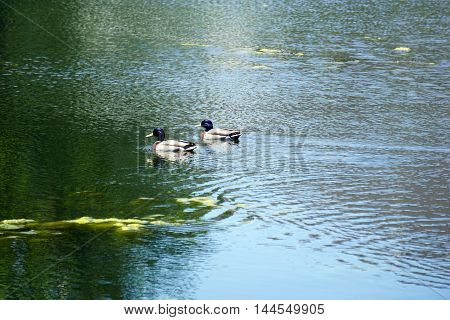 Two mallard ducks (Anas platyrhynchos) swim together in a small lake in Joliet, Illinois.