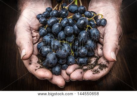 hands with cluster of black grapes farming and winemaking concept