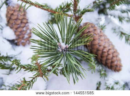 Spruce branches covered with snow, Branch of fir tree in snow with cones, background