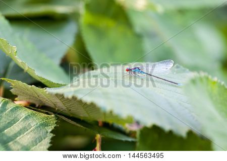 on a leaf of raspberry plant is a Small red-eyed damselfly