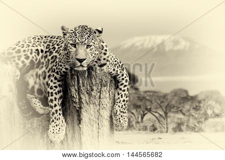 Leopard Sitting On A Tree. Vintage Effect