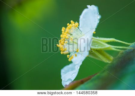 A white flower of wild gourd with some water drops shining on sepals petals filaments and yellow stamens.