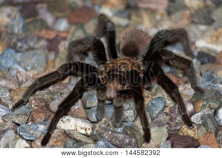 A male desert tarantula crosses a gravel surface in the Sonoran desert. You can see his mating hooks and he has sand specks and on his body. The image has shallow depth of field with his eye as the focal point.