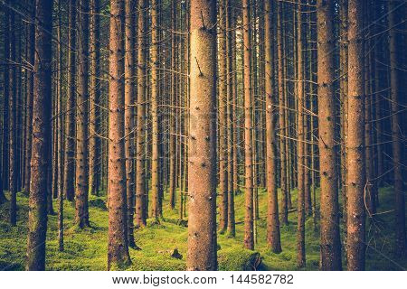 Pine Trees Forest Pattern. Forestry Theme Photo Background.