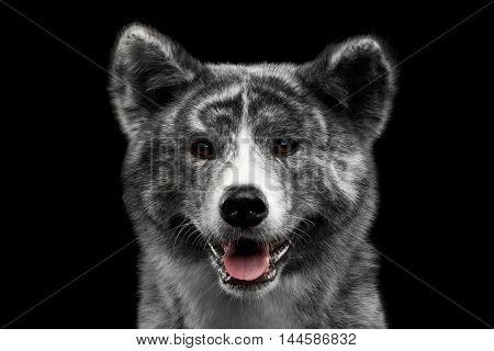 Closeup portrait of Akita inu Dog Smiling on Isolated Black Background