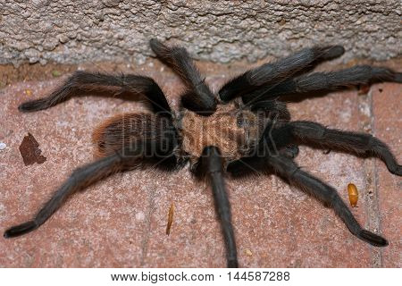 A male desert tarantula hunches up in a corner on a brick patio in the Sonoran desert. You can see one of his Mating hooks and his tiny sets of eyes.