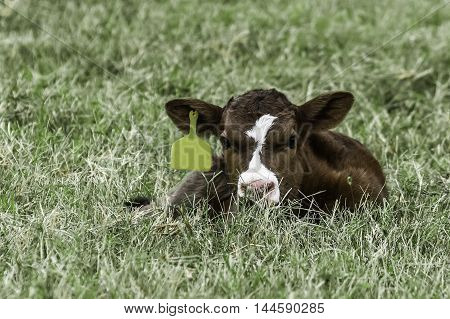 Brown and white crossbred calf laying in the grass