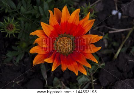 orange and red gazania flower isolated on the soil