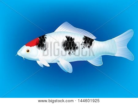 Vector illustration of koi carp breed Tancho Sanke