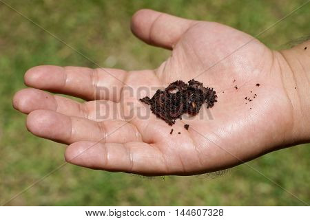Earthworms In Man Hand