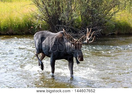 Adult Bull moose with shedding velvet antlers crossing the Fish Creek tributary of the Snake River in the Central Rocky Mountains between Jackson Hole and Wilson Wyoming US